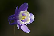 Purple Columbine - Tasmania