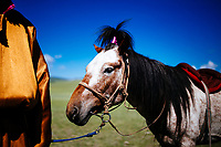A decorated horse at the traditional Naadam festival in Tsagaannuur, northern Mongolia.
