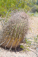 "The fishhook barrel cactus is a rather common large barrel cactus found in the Sonoran and Chihuahuan Deserts of the American Southwest with a range stretching from Arizona through New Mexico to Texas, as well as south of the border into the northern parts of the Mexican states of Sonora and Chihuahua. As with many cacti, it has many regional names such as the Arizona barrel and biznaga-barril de Nuevo México and is found in open rocky ground, shrub-steppe, chaparral and at the base of desert hills and mountains where there is some gathering of water during seasonal rains. Mature plants can reach upwards of 5 feet tall, and live to 50 to 130 years, and as they get larger, they will tend to lean to face south or southwest-ward, which is why come people also call it the compass cactus. Vicious recurved spines (or ""fishhooks"") protect it from predators such as javelinas, and the fleshy yellow fruits are an important food source for birds, mule deer, and javelinas. This one was found and photographed between the Ajo and Puerto Blanco Mountains ranges in the Sonoran Desert in Southern Pima County, Arizona."