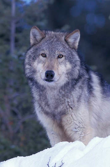 Gray Wolf, (Canis lupus) Portrait. Rocky mountains.  Captive Animal.