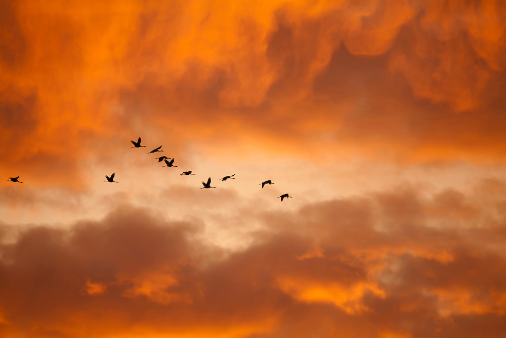 Cranes flying in last light of the sun, Lac en Der, France