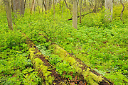 Carolinian Forest in spring<br /> <br /> Ontario<br /> Canada