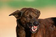 PRT, Portugal: Streunender Hund, Haushund (Canis lupus familiaris), zeigt Drohverhalten, zeigt ihre Zähne, Aggressives Muster, Quarteira, Algarve | PRT, Portugal: Stray dog, domestic dog (Canis lupus familiaris), displaying threat behavior, showing teeth, aggressive pattern, Quarteira, Algarve |