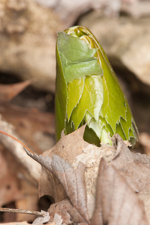 Young mayapple (Podophyllum peltatum) pushing up through the leaf litter.