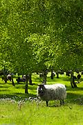 Rogata Owca - Horned Sheep , eco sheep breeding and farming photography by Piotr Gesicki