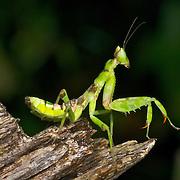 Mantodea and Phasmatodea