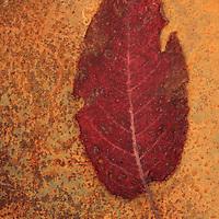 Dried red leaf of Broad-leaved dock or Rumex obtusifolius lying on mottled rusty metal sheet