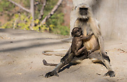 Mother and baby gray langur (Semnopithecus dussumieri) from bagar, Rajasthan, India.