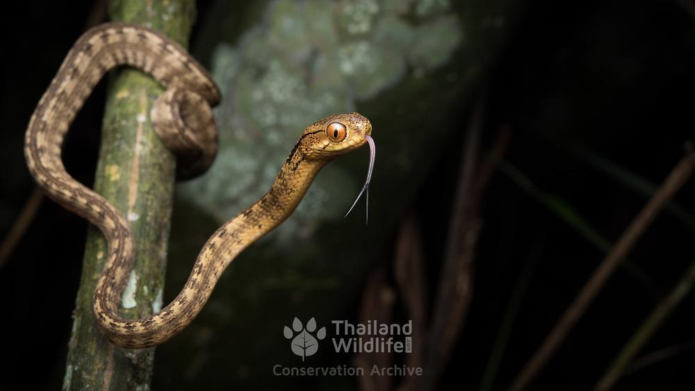 Keeled Slug Snake (Pareas carinatus) in Lam Nam Kra Buri national marine park, Thailand