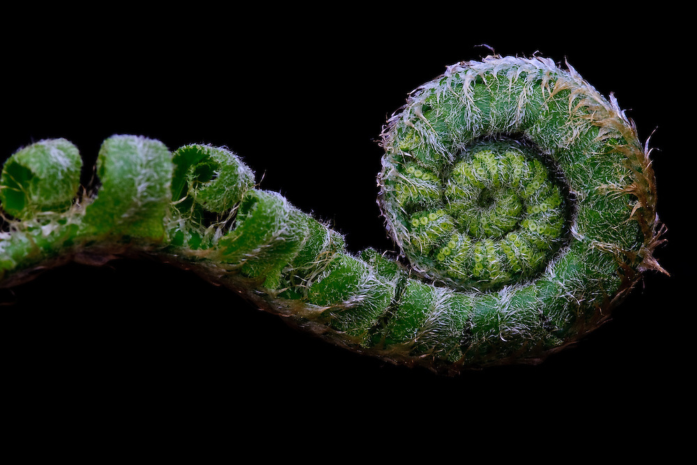 Close-up of a Christmas fern (Polystichum acrostichoides) fiddlehead, Trout Run Park, George Washington Memorial Parkway, Virginia.