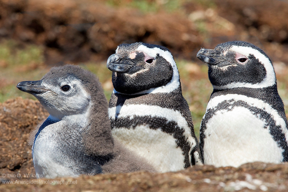 A male and female Magellanic Penguin (Spheniscus magellanicus) keep a watchful gaze over their only offspring in the Falkland Islands