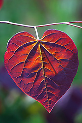Backlit leaf of Cercis canadensis 'Forest Pansy'
