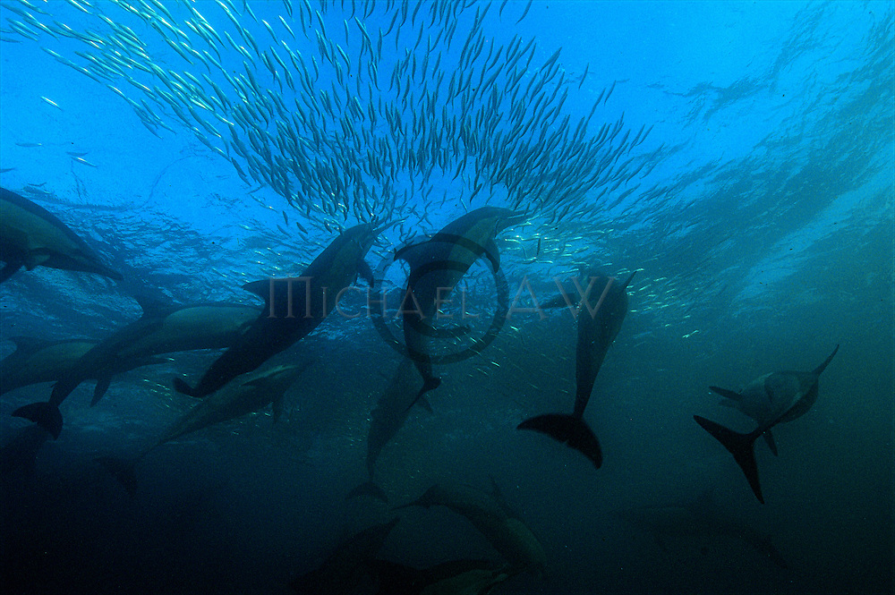 Bronze whalers and dolphins feediing on sardines, South Africa, Wild Coast, Sardine Run, dolphins, Sharks, sardine, gannets