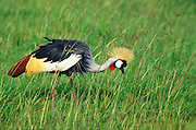 Grey Crowned Crane, Balearica regulorum, on the grassy plains of Maasai Mara National Reserve, Kenya, Africa.