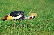 Grey Crowned Crane, Balearica regulorum, on the grassy plains of Maasai Mara National Reserve, Kenya, Africa.