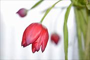 Nederland, Ubbergen, 14-2-2013Een uitgedroogde, verwelkte, rode tulp.Foto: Flip Franssen