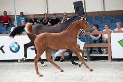 032, Kimberly<br /> Nationale Veulenkeuring, merrieveulens springen Ermelo 2015<br /> © Hippo Foto - Leanjo de Koster