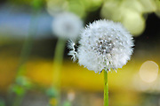 Dandelion - Fluffy sead ball. Photographed in Croatia in August