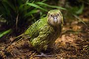 Kakapo, critically endangered, New Zealand