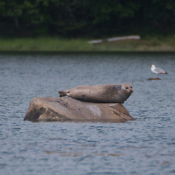 Seal on Rock in Bagaduce River, Castine, Maine, US