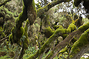 mosses on trees at Harenna Forest, Bale Mountains National Park, Ethiopia