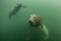 Images of Seals taken while diving in the Farne Islands,Northumberland, UK.