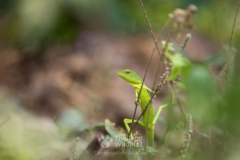 Burmese Green Crested Lizard (Bronchocela burmana) (in situ) in Kaeng Krachan national park, Thailand