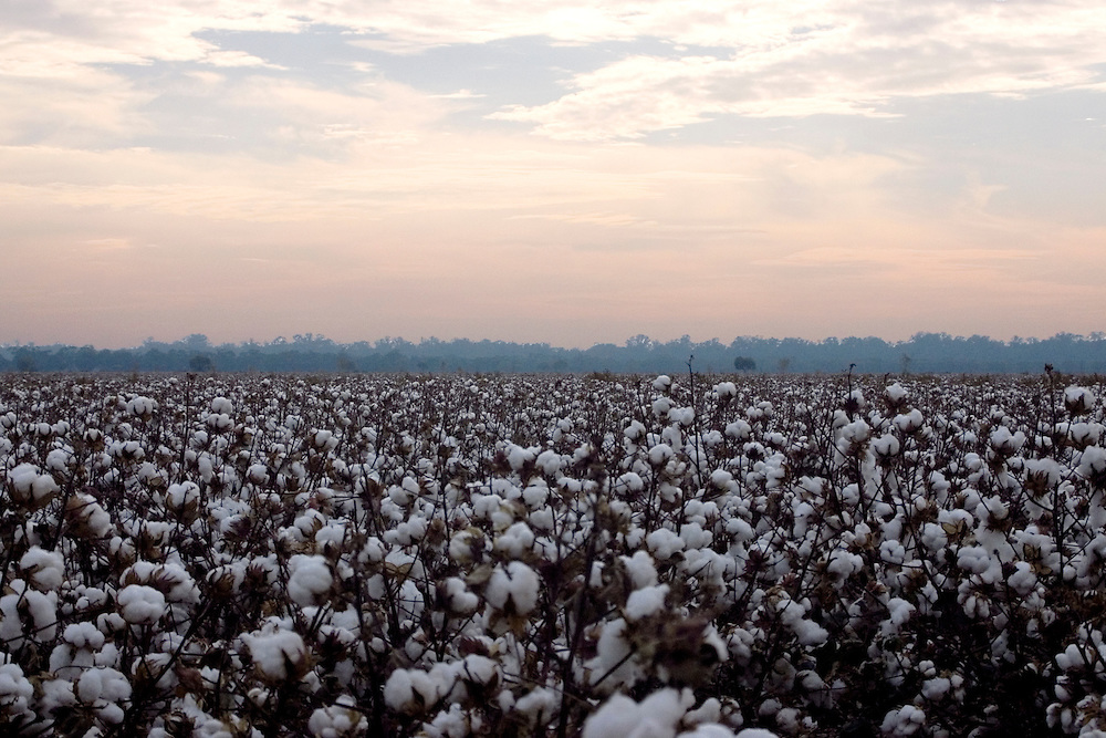 A field of cotton in bloom.