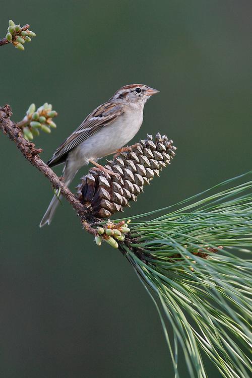 Chipping Sparrow - Spizella passerina - Adult non-breeding