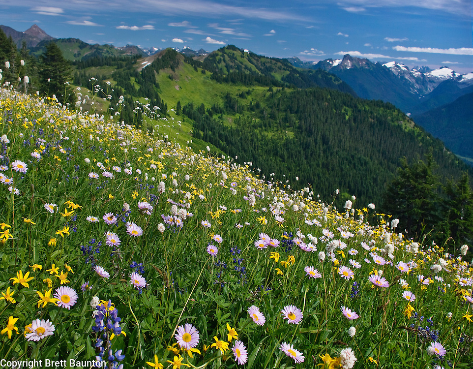 Mt. Baker Wilderness Area, Excelsior Pass, Wildflowers, North Cascades, WA