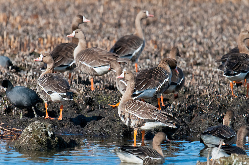 Greater White-fronted Geese, Anser albifrons, Klamath Basin, California