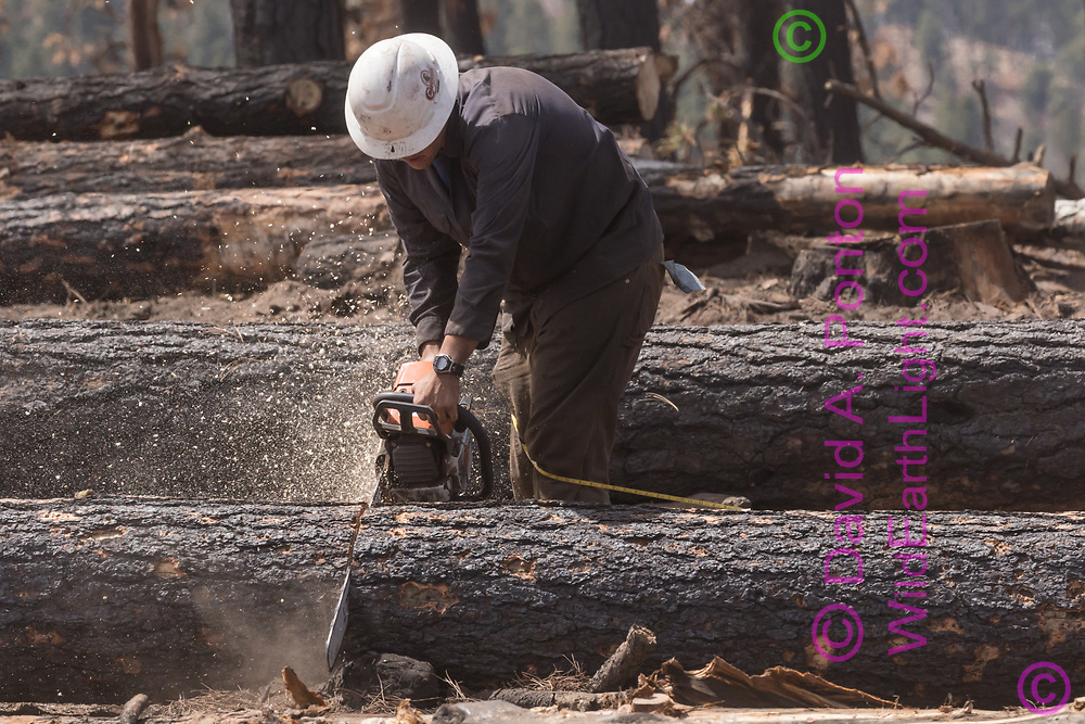Operator bucks a fire-killed tree with a chainsaw, using a tape measure to get proper length. Fire killed trees were salvaged from the Cajete Fire burn area, Santa Fe national Forest. © 2018 David A. Ponton