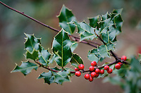 New Jersey Late Fall Backyard Nature. Holly berries. Image taken with a Nikon D300 and 70-200 mm lens (ISO 200, 200 mm, f/2.8, 1/160 sec).