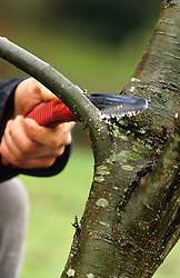 Pruning tree with a hand saw
