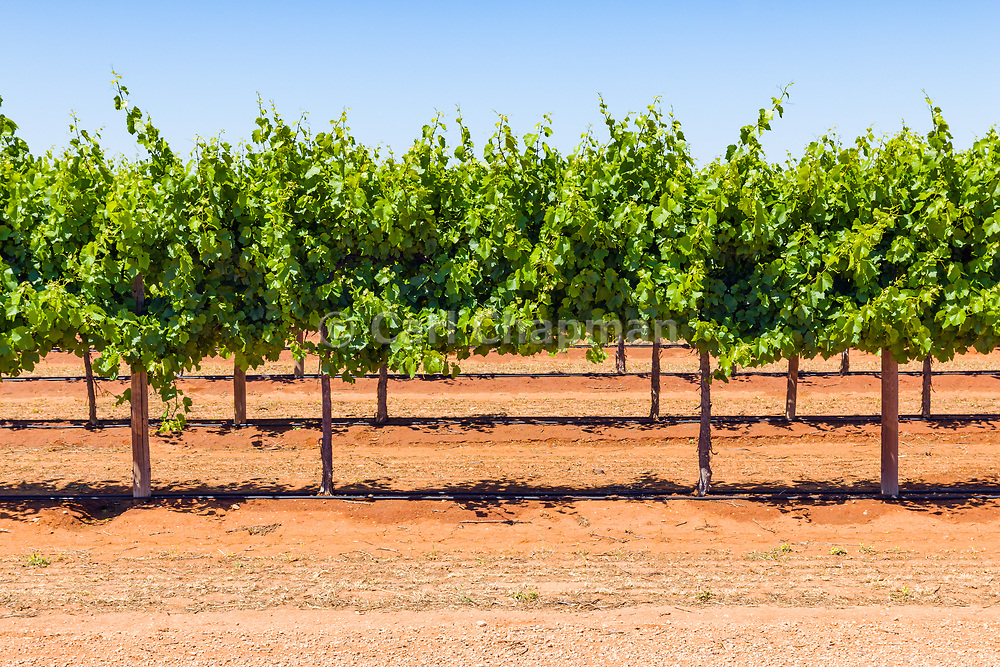 grape vines on a vineyard near Merbein South, Victoria, Australia