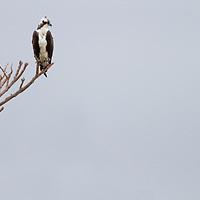 An Osprey sitting on a perch overlooking Raritan Bay Sandy Hook New Jersey.