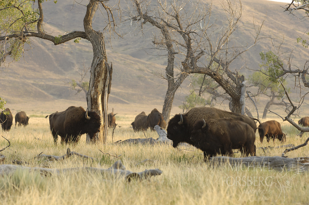 Buffalo Gap National Grassland, South Dakota..Bison herd in cottonwood savanna on Cheyenne River valley..