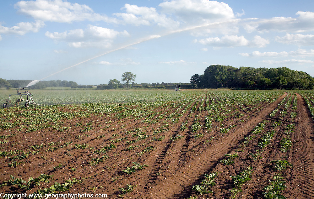 Irrigation water spraying field sugar beet, Iken, Suffolk, England