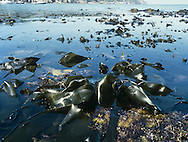 Kelp Bed - Laminaria digitata