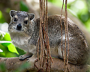 (Heterohyrax brucei) A Yellow-spotted Bush Hyrax Watches Cautiously From its Perch. Tarangire National Park, Tanzania.