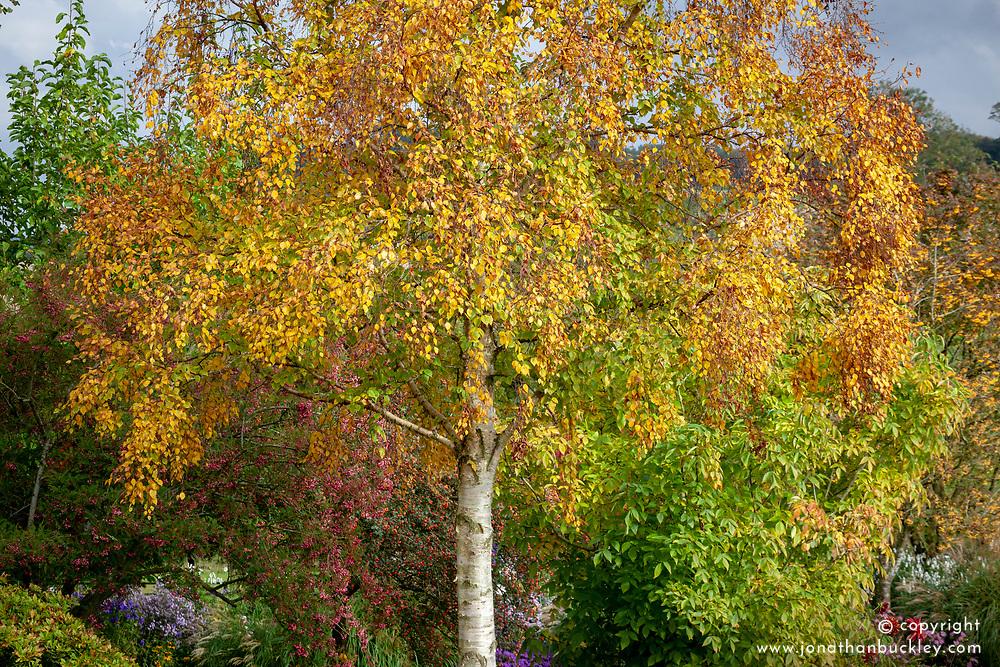 Betula ermanii - Gold birch - in autumn colour
