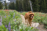 Dog with ball walking among wildflowers in the Sierra Nevada, Mokelumne Wilderness, Eldorado National Forest, California