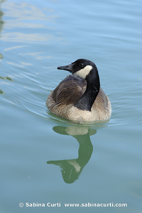 Canadian Geese,  Humber Bay Park, Toronto Ontario