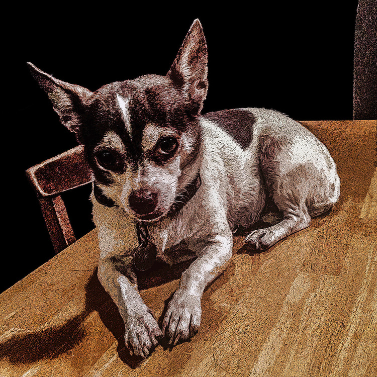 Chihuahua on a tabletop