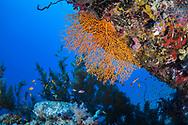 Gorgonian-Gorgone (Gorgonacea) of Red Sea, Sudan.