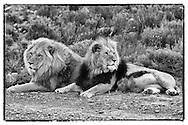 SOUTH AFRICA. 2nd December 2011. Aquila Game Reserve.