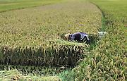 China, Yunnan, Dali City, Woman works in a rice field