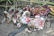 Africa, Tanzania, Lake Eyasi, Hadza hunters collect the hunted animals before cooking. Hadza are a small tribe of hunter gatherers AKA Hadzabe Tribe August 2009