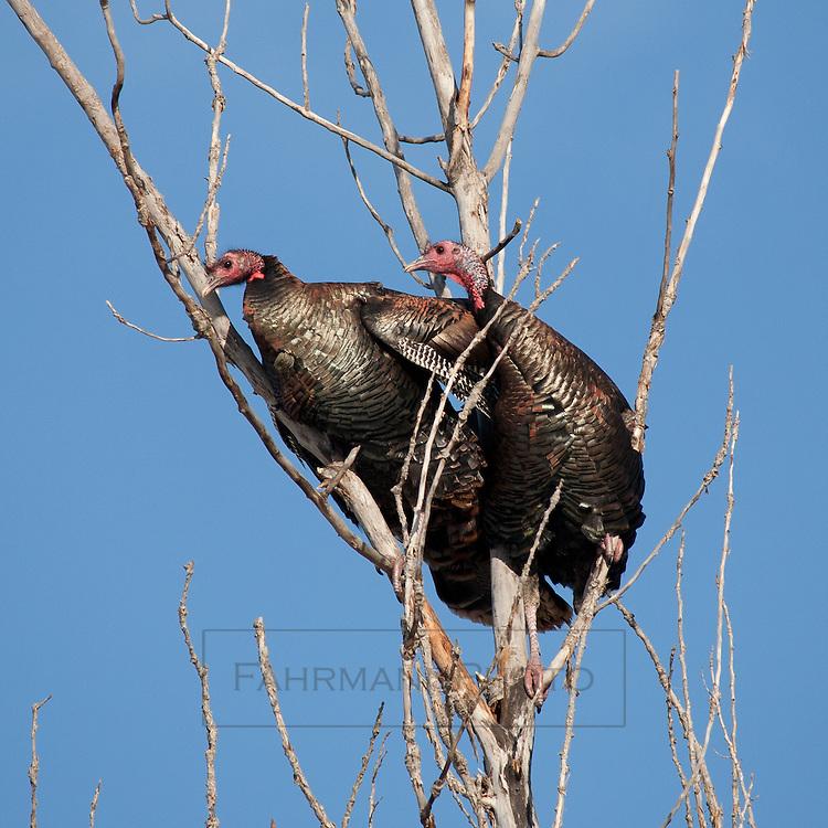 Wild Turkey's perch in trees in a suburban development border area in Eden Prairie, Minnesota