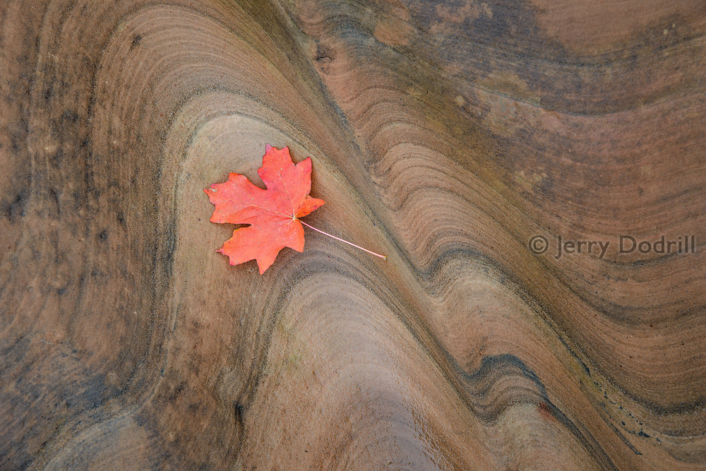 A maple leaf on wet sandstone in a creek bed in Zion National Park, Utah